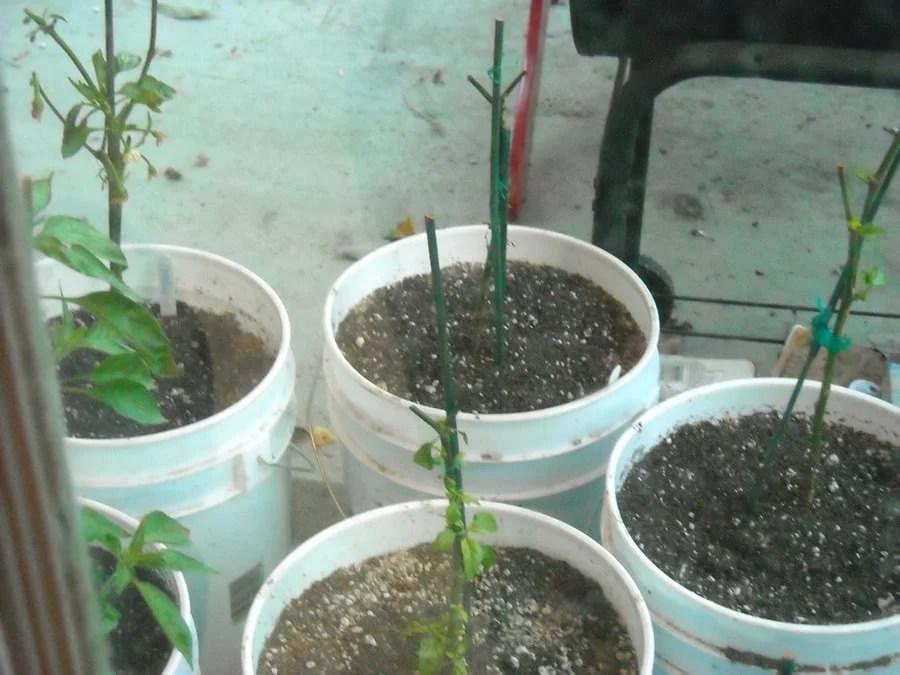winterizing pepper plants
