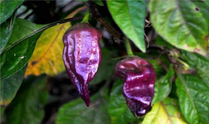 ghost pepper purple, purple bhut jolokia