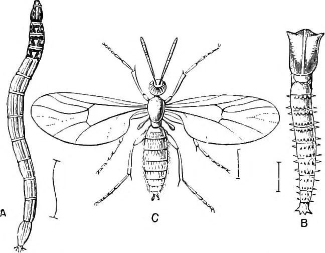 diagram of fungus gnat larvae, pupa and adult