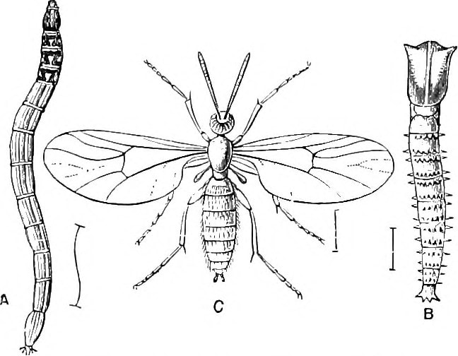 diagram of fungus gnat larvae, pupa and adult