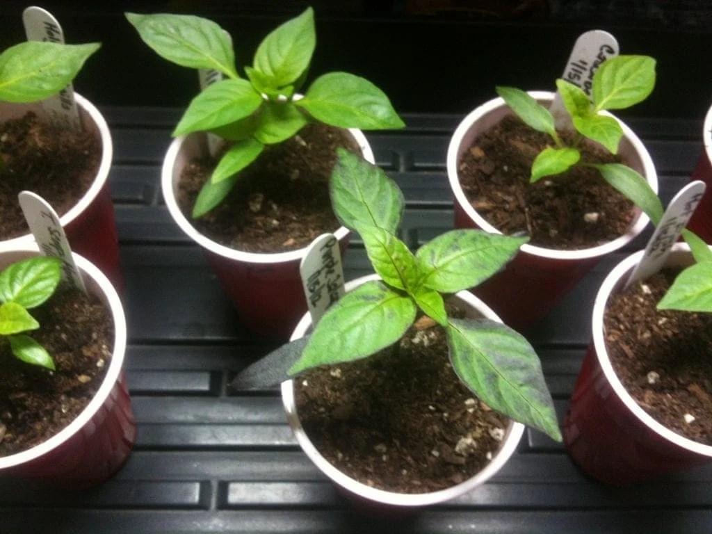 chile pepper seedlings