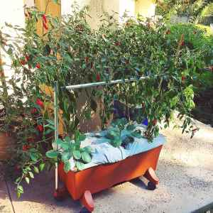 Earthbox growing system with pepper plants