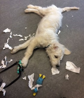 Nando the Groodle puppy doing paperwork