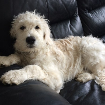 Nando the Groodle (Goldendoodle) puppy at 19 weeks