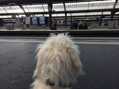 Groodle puppy, 20 weeks, train station