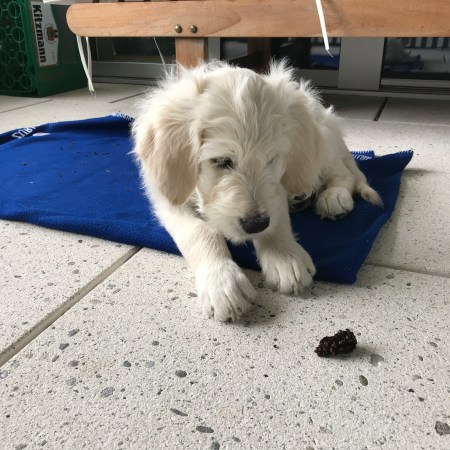 Groodle/Goldendoodle puppy eyeing off a potential foreign body obstruction - a pine cone!