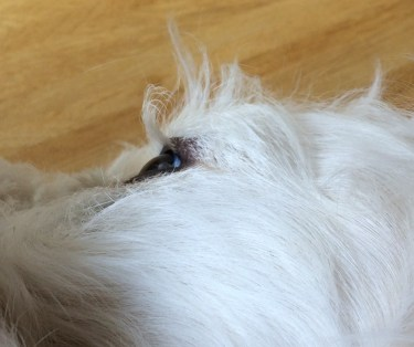 Groodle puppy with long eyelashes, will he be safe for allergy suffers?