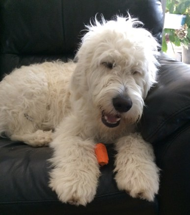 Nando the Groodle puppy eating a carrot