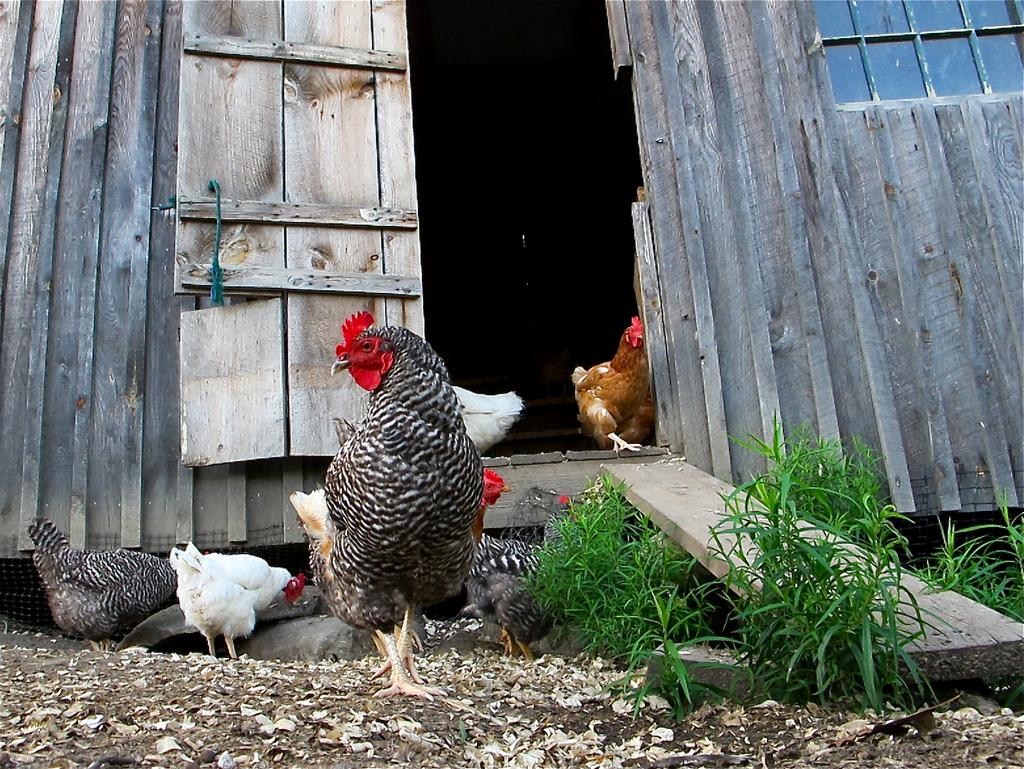 Episode 210 Backyard Chickens  Growing A Greener World®