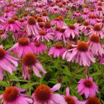 The Coneflower Echinacea for Winter Health