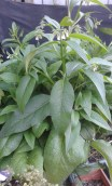 Comfrey Bocking 14, I literally cutt his plant to the ground 3.5 weeks ago!!
