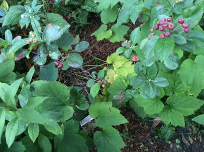 Black Chokeberry (Aronia Prunifolia)