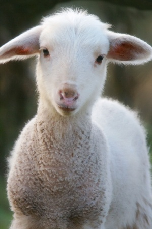 Discipleship Devotional Study Guide - The Lost Sheep - Luke 15:4-7 - Growing As Disciples