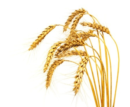 Discipleship Devotional Study Guide - The Parable Of The Kernel Of Wheat - John 12:23-26 - Growing As Disciples