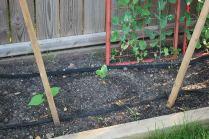 bush zucchini