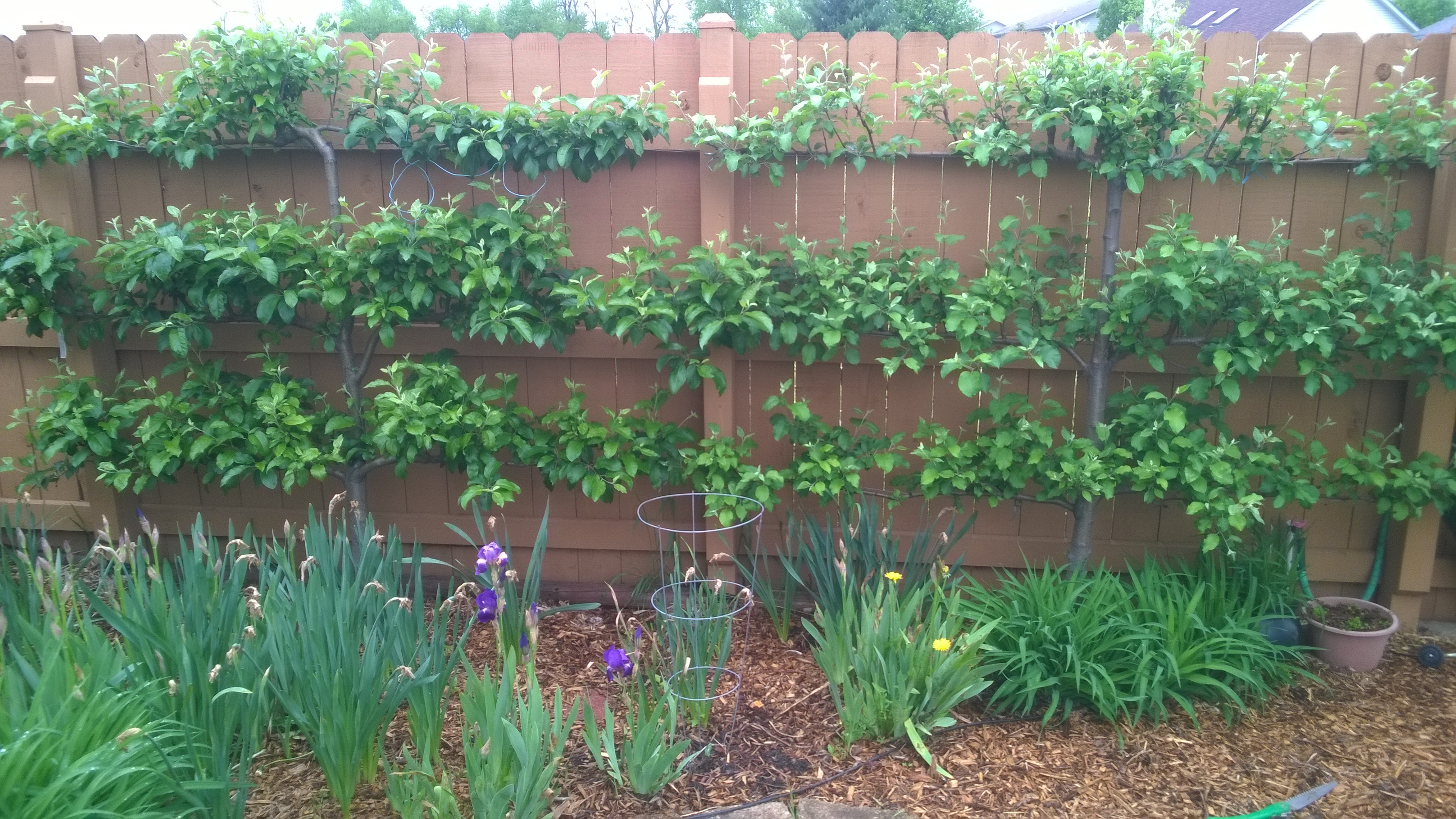 how to prune an apple tree diagram plant root labeled espalier trees pruning related keywords