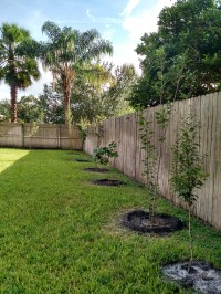 "My backyard Florida ""orchard"", apple, pear and citrus ..."