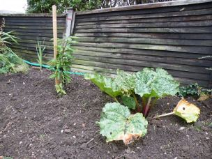 Rhubarb patch with cherry tree in back ground