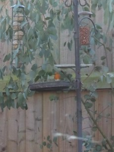 Spot the red breast