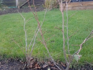 Cob bushes