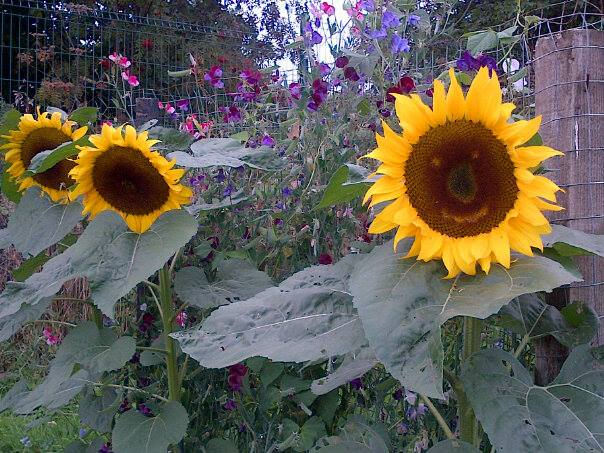 Growing sunflowers with your kids is a fun activity to do in your vwry own backyard.