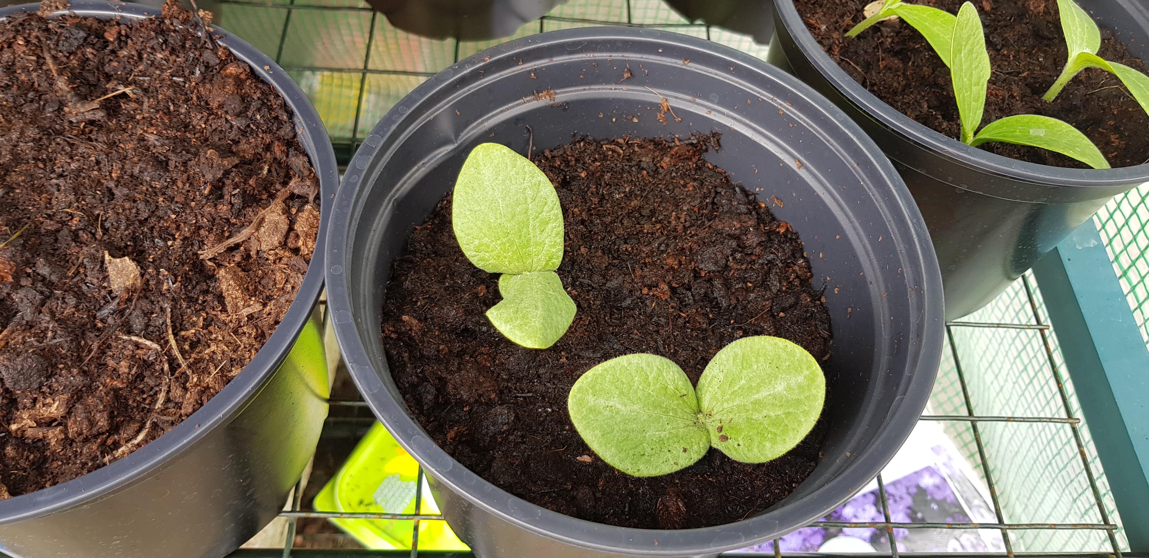 how to grow pumpkin seeds