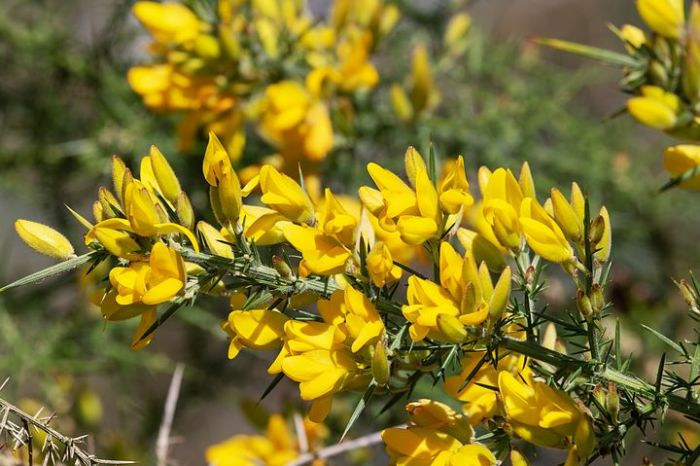 forage gorse with kids