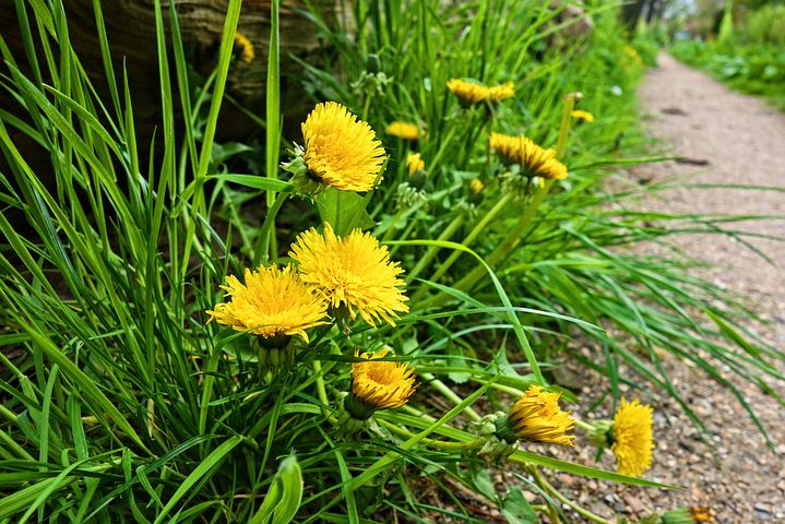 Dandelions are the perfect free food. So many uses, easy to grow and every part is edible.