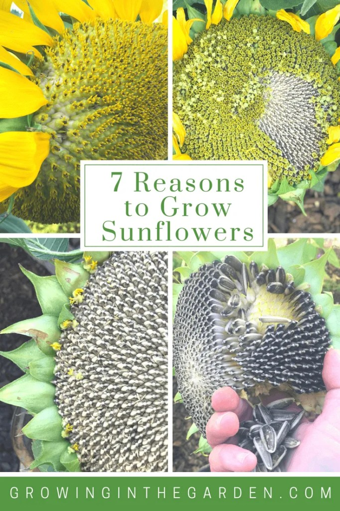 How To Grow Sunflowers Growing In The Garden