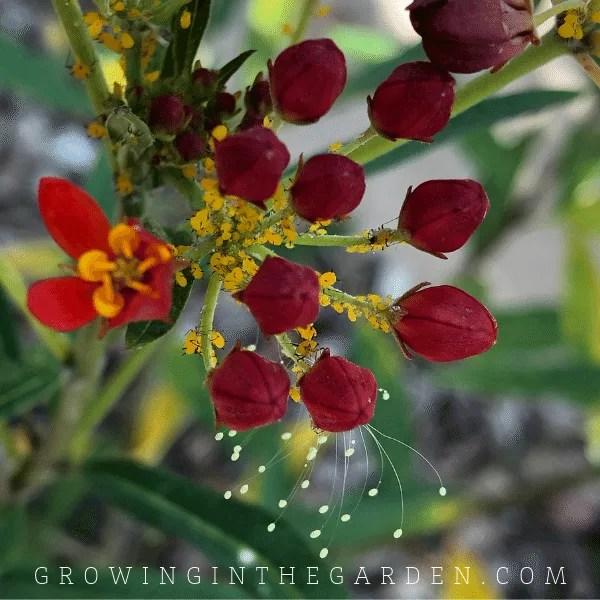 Desert Milkweed flower in Arizona garden