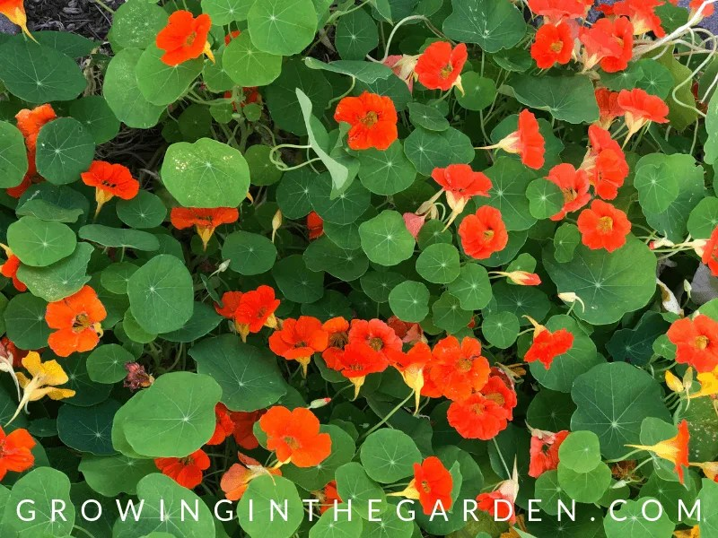 Nasturtium in How to grow wildflowers in Arizona #wildflowers #superbloom #arizonawildflowers