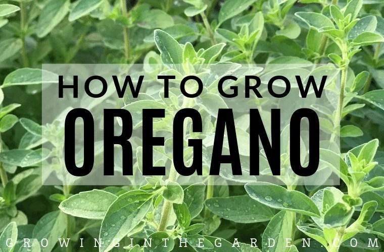 How to grow oregano - tips for growing oregano
