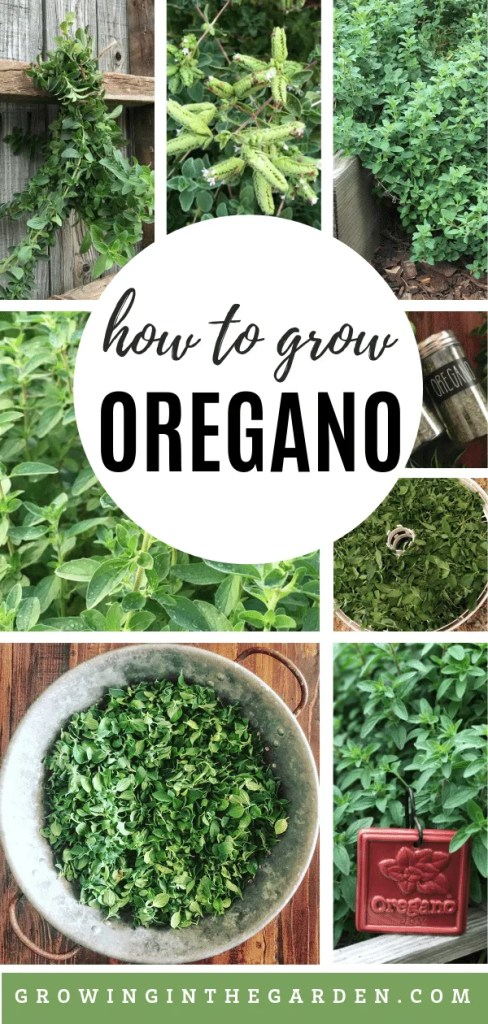 Some Known Details About How Many Oregano Seeds Per Pot