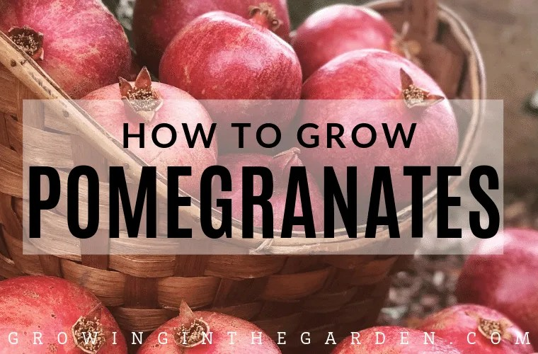 How to grow pomegranates
