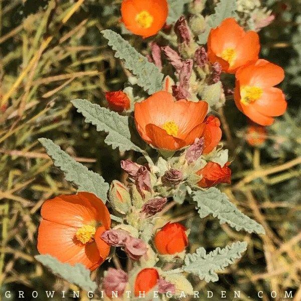Arizona Annual Flower Planting Guide: A Visual Guide for Low-Desert Flowers