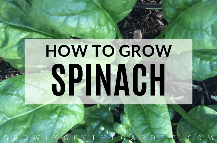 How to grow spinach: tips for growing spinach #spinach #howtogrow