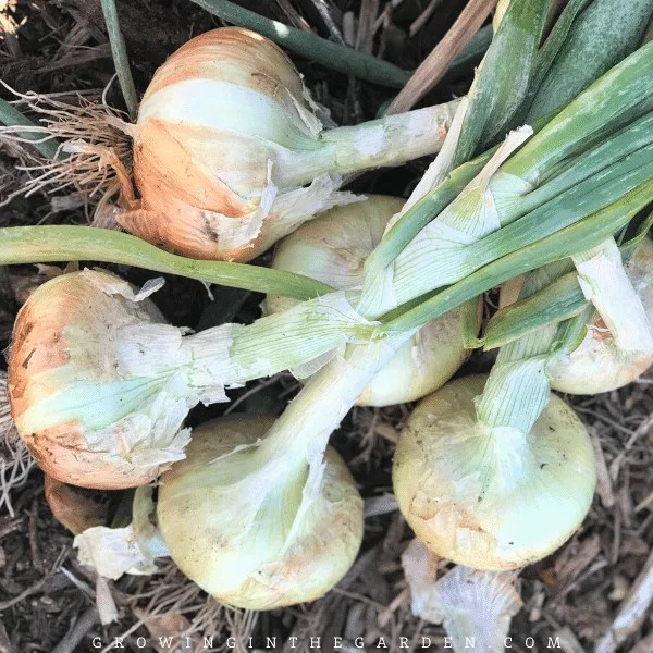Arizona Vegetable Planting Guide- When to plant onions in Arizona