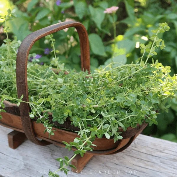 HOW TO GROW THYME: 5 TIPS FOR GROWING THYME