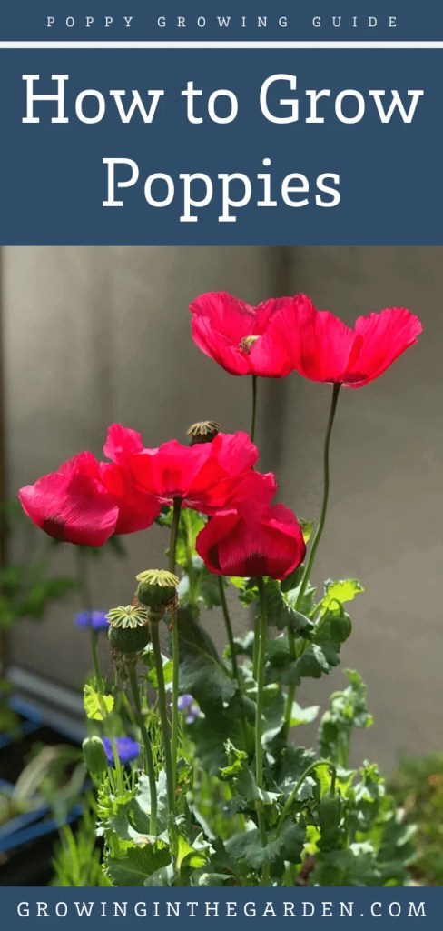 How to Grow Poppies: 8 Tips for Growing Poppies