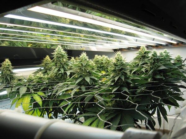 T5 grow lights for marijuana Best T5 grow light systems