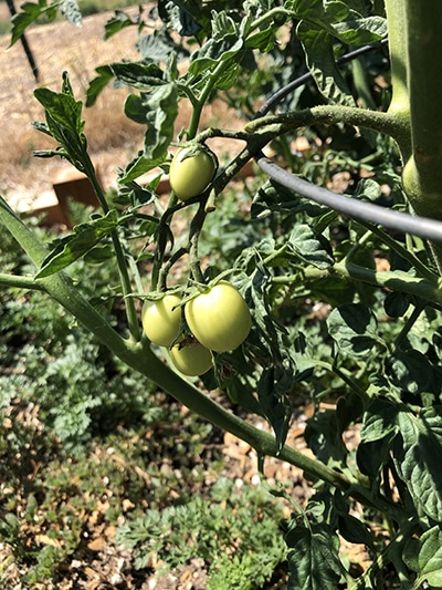 growing tomatoes organically
