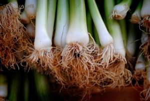 Growing Green Onions, Leeks, and Shallots