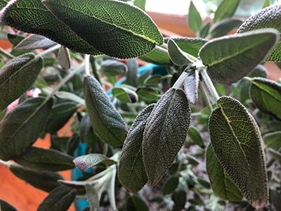 growing sage | organic gardening
