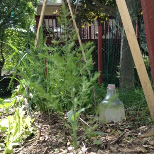 My garden in the spring, lettuce, asparagus, trellis & a milk jug cloche