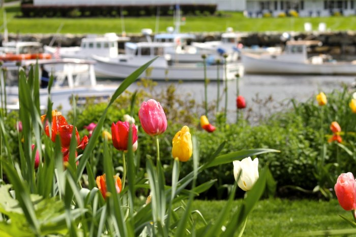 Ogunquit Maine in the spring. tulips flowers picturesque town