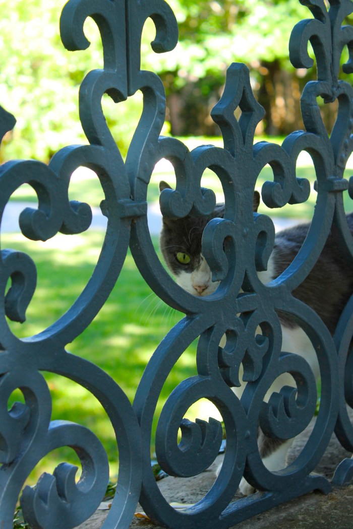 cat behind wrought iron fence San Antonio