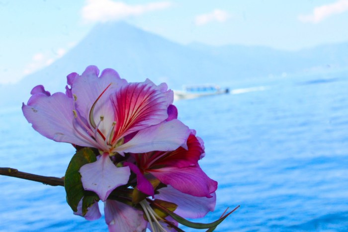 flower in front of Lake Atitlan, Guatemala