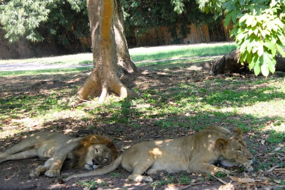 lions at Auto Safari Chapin Guatemala