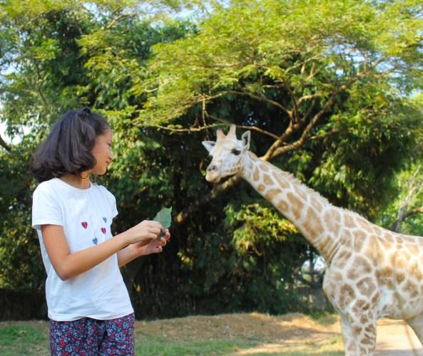 Feeding giraffes at Auto Safari Chapin in Guatemala