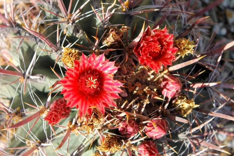 blooming cactus desert botanical gardens Phoenix Scottsdale